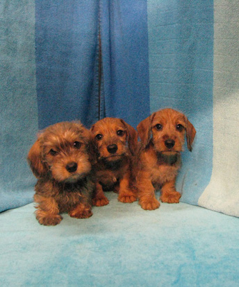 Wire Haired Mini Dachshunds